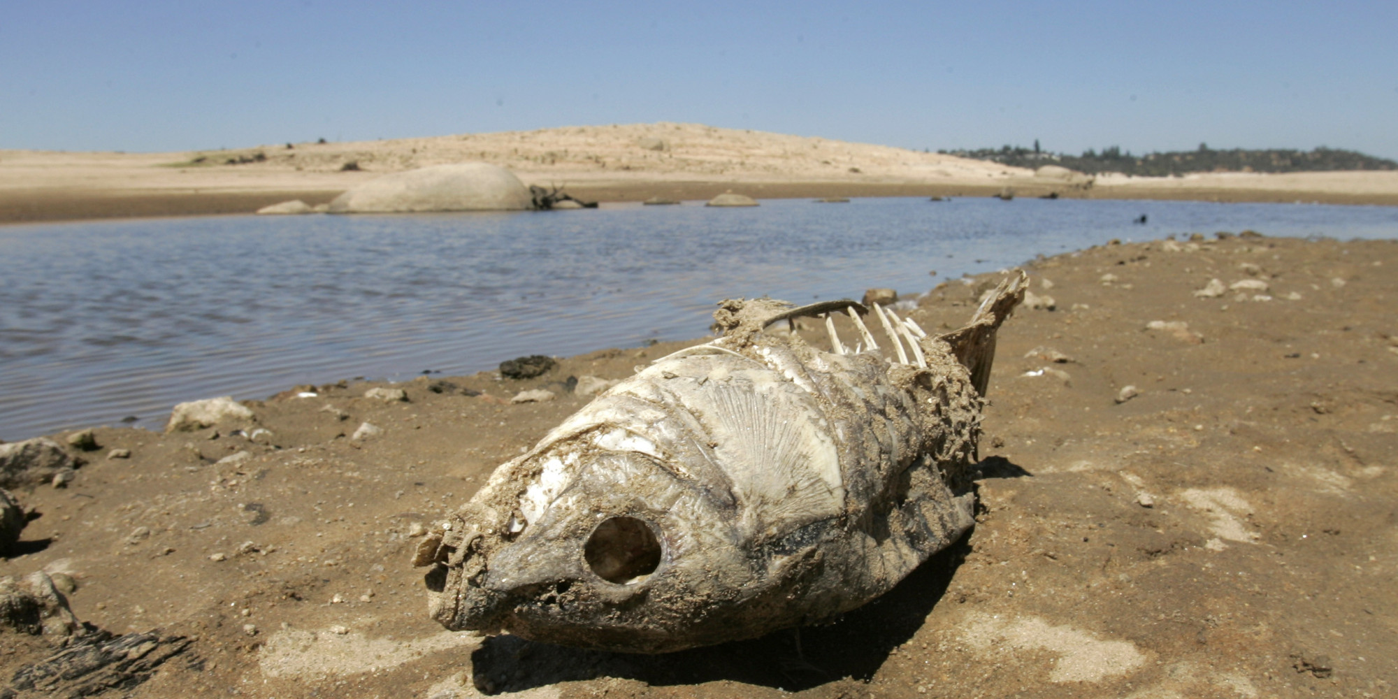 The remains of a fish are seen along the banks of Folsom Lake which is at 31 percent of its capacity, near Folsom, Calif., Thursday, Sept. 4, 2008.  With forecasters predicting another dry winter, the Department of Water Resources announced plans to buy water from rice farmers and water agencies in the Sacramento Valley, and sell it to cities and growers in the drier southern half of the state.  (AP Photo/Rich Pedroncelli)