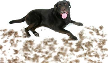 Dear_labby_dog_shedding
